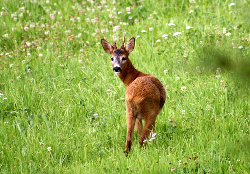 bambi 006