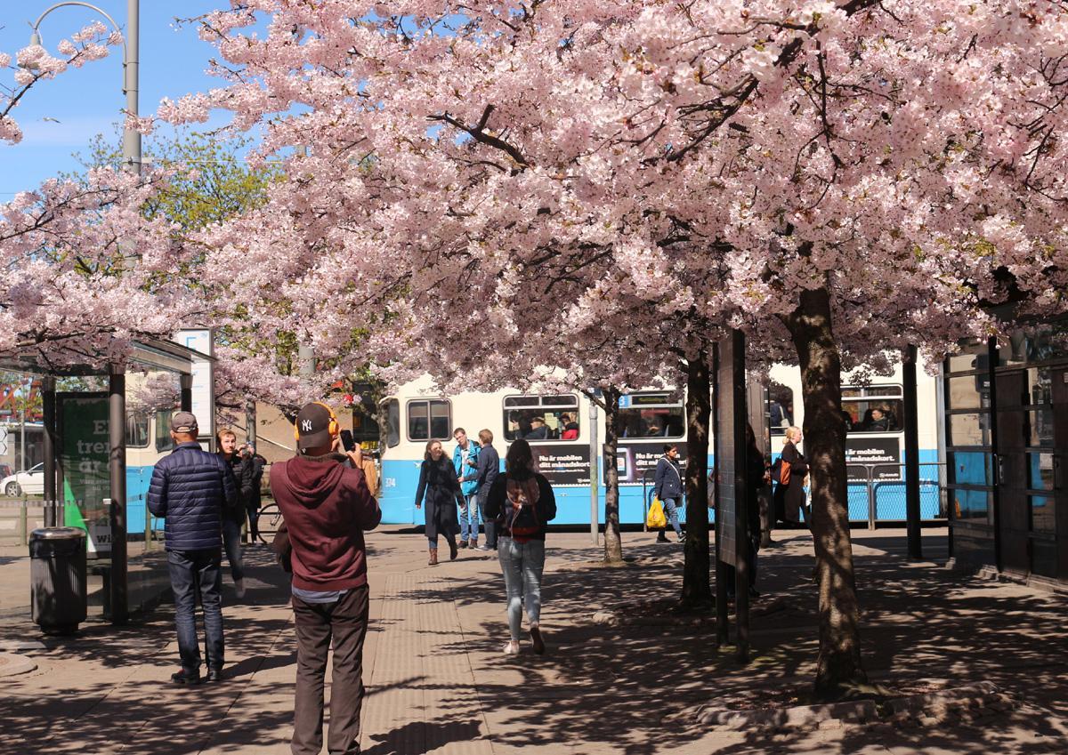 körsbärsträd 103
