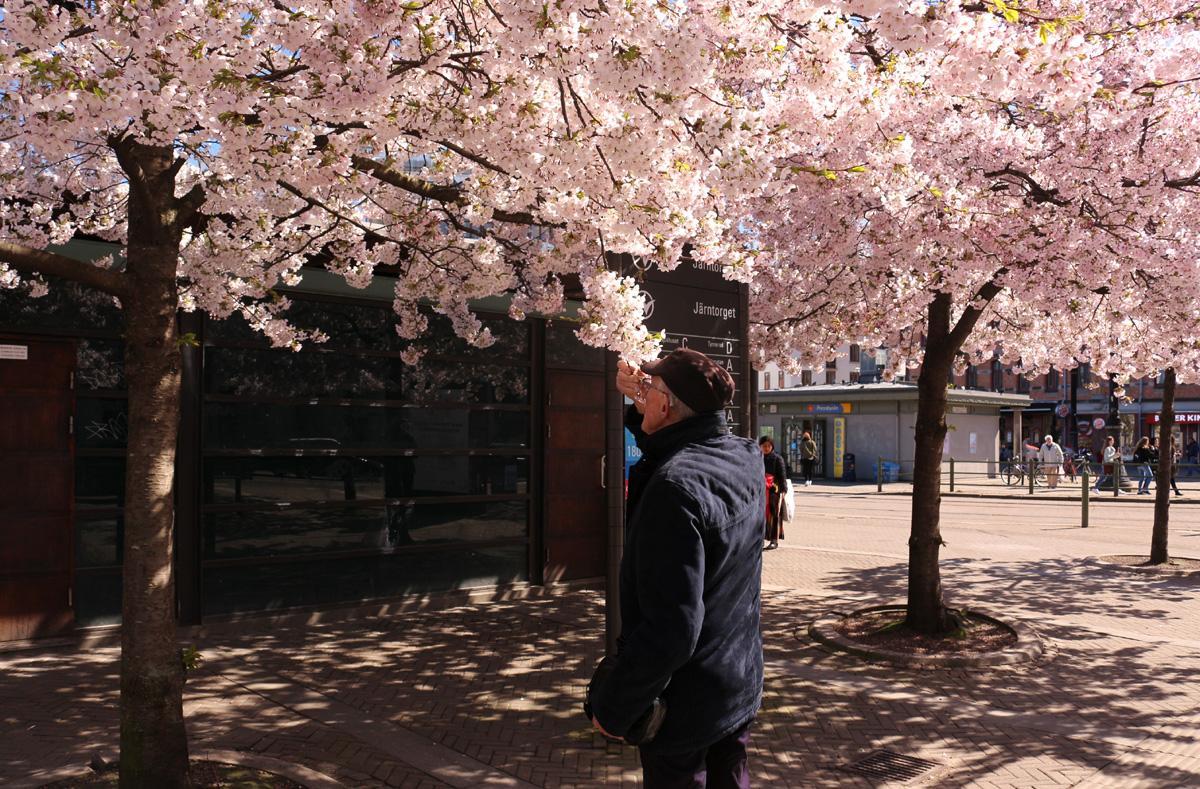 körsbärsträd 110