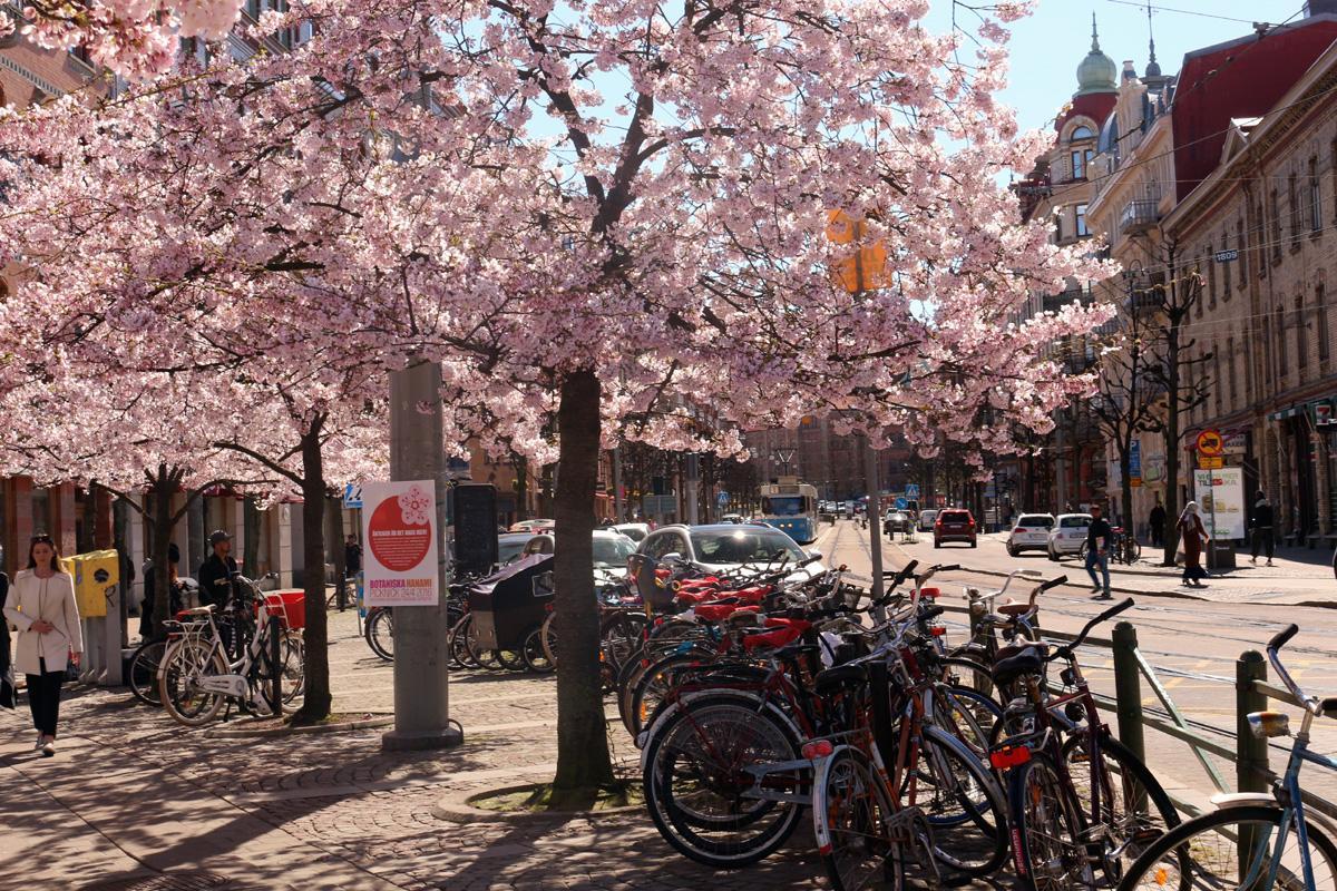 körsbärsträd 130