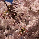 Körsbärsträden på Järntorget.