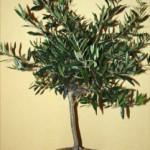 Mitt olivträd får stå i fred.