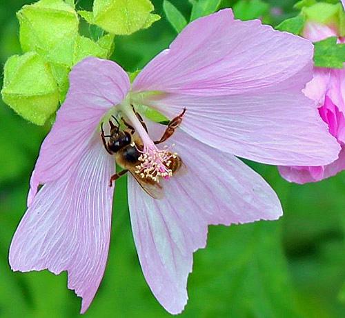 blomfluga_ny