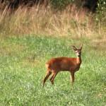Ingen sommar utan bambis och skogens konung.