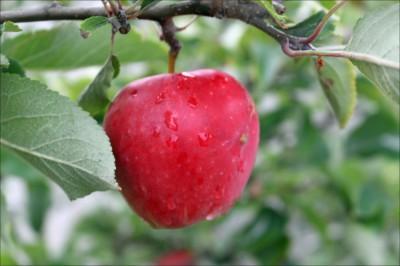 äpplet1