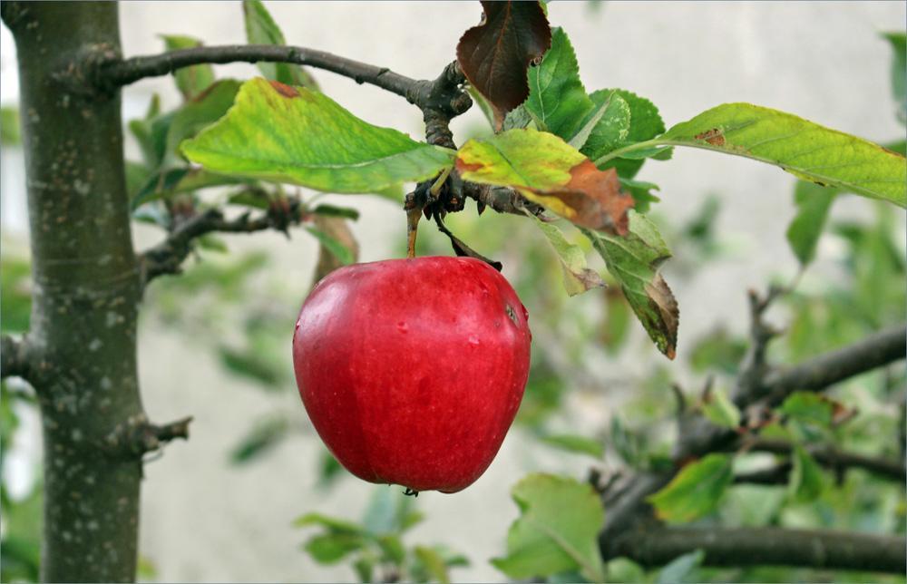 äpplet2