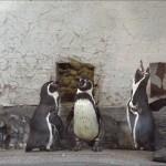 Jämställdhet bland Slottskogens pingviner, bild.