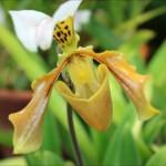 En orgie i orkideér på Botaniska trädgården. Bilder.