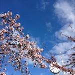 Körsbärsträden i full blom.