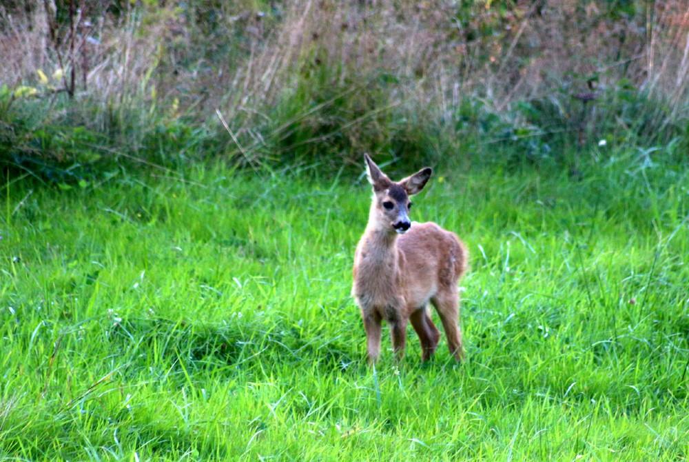bambi 019