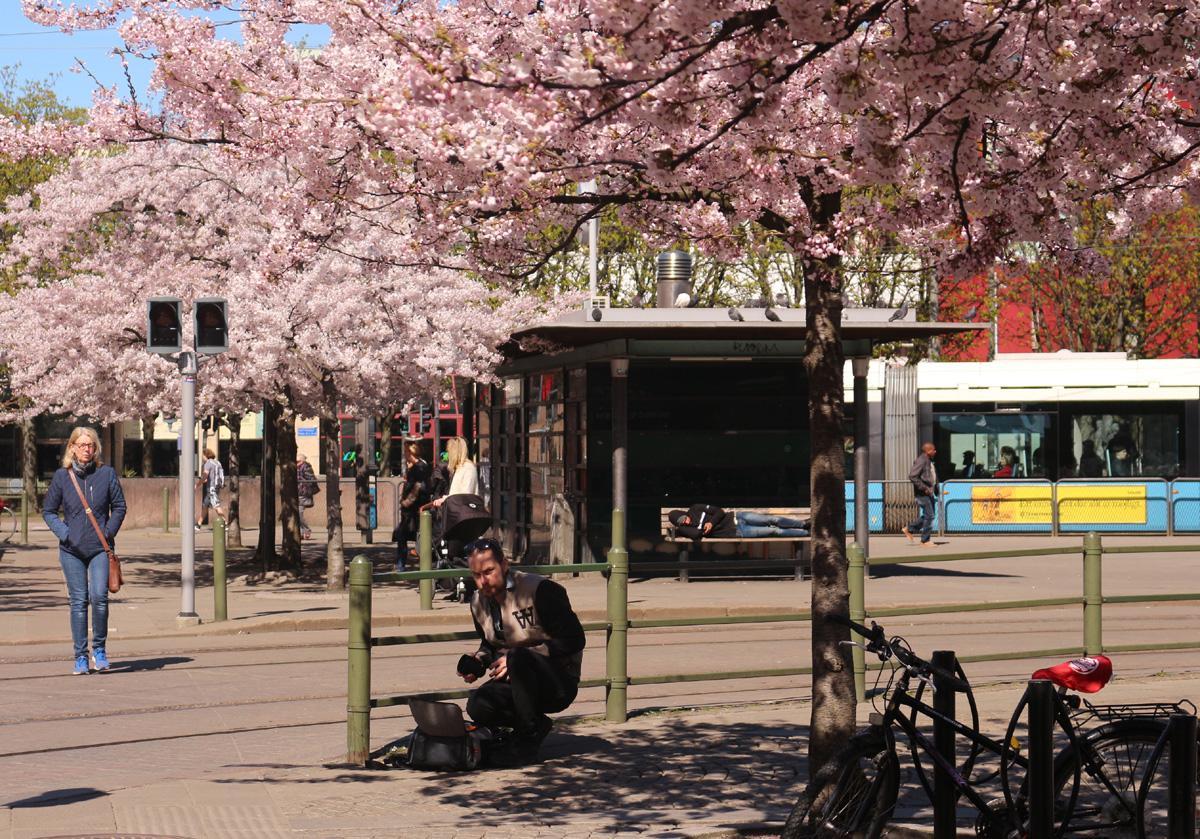 körsbärsträd 126