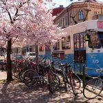 Körsbärsträden i full blom på Järntorget, bilder.