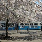 Körsbärsträden på Järntorget 2018, bilder.